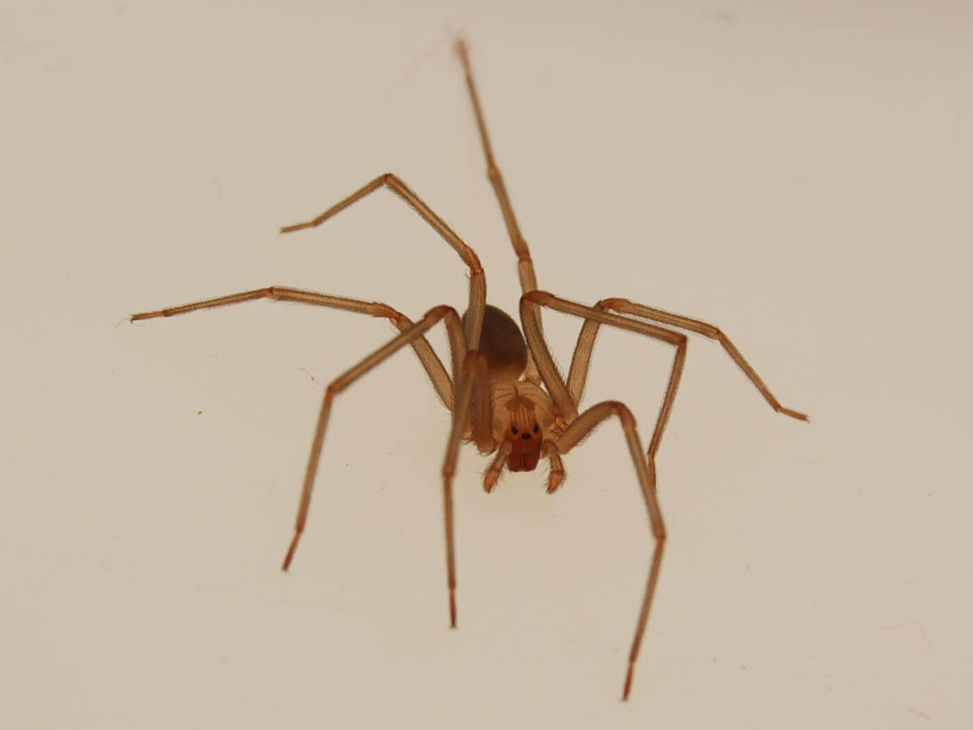Spider bite symptoms
